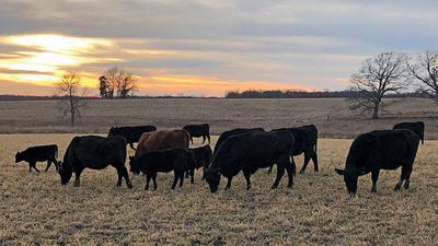 Nutrition key aspect of spring calving preparation