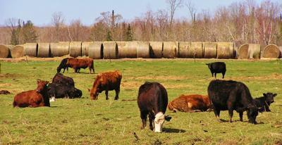 Beef cattle graze in field