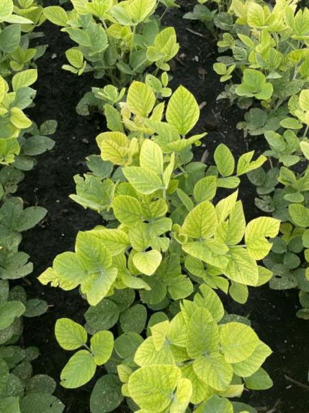 Soybean Iron deficiency chlorosis (IDC)
