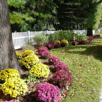chrysanthemums landscaping