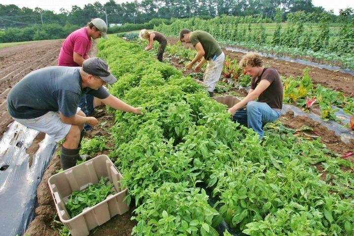 Workers pick organic basil