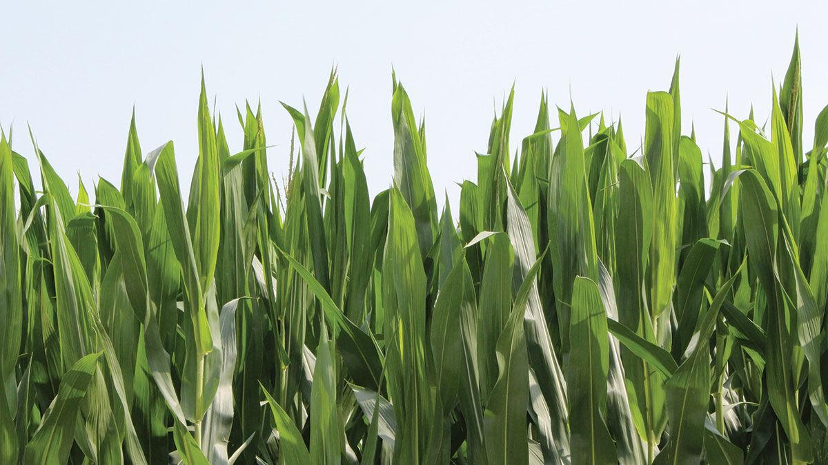 Crops grow in Boone County on a sunny July day