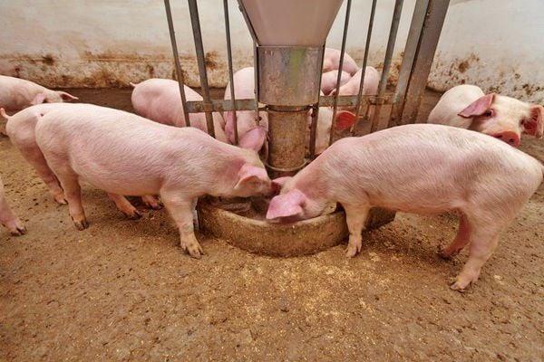Hogs eating