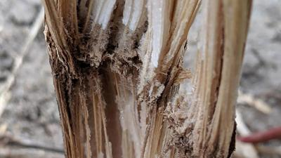 Corn stalk with disintegrated pith