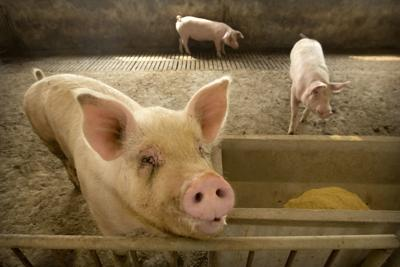 Pigs stand in a barn