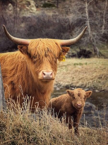 Scottish highland 1
