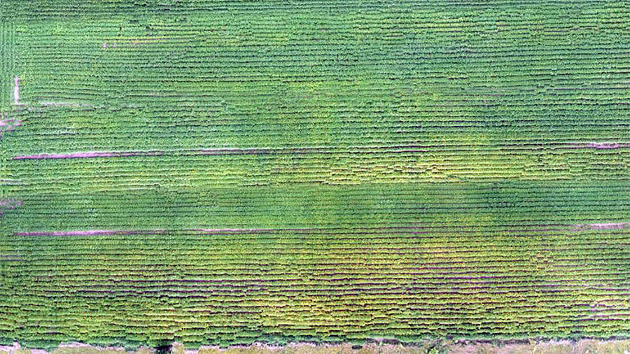 SCN drone image of a soybean field