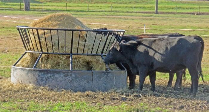 Beef cattle eat hay