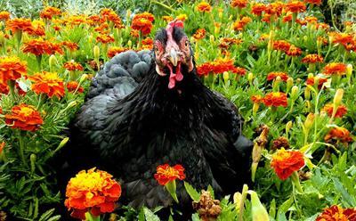 chicken marigold