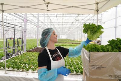 Greenhouse workers pack boxes of produce for distribution.