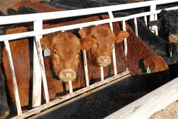 Beef Breeds Limousin 2