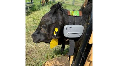 steer outfitted with a virtual fence collar.