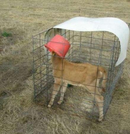 Calf with bucket on head
