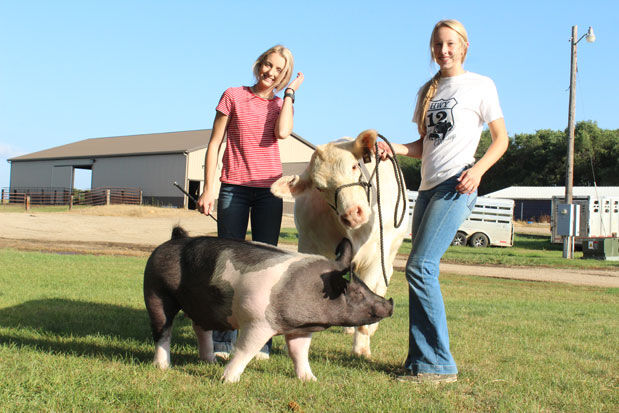 Beare-show-cattle-(15).jpg