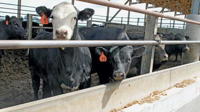 Cattle in Feedlot