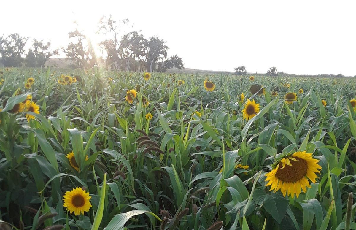 Freeland sunflower