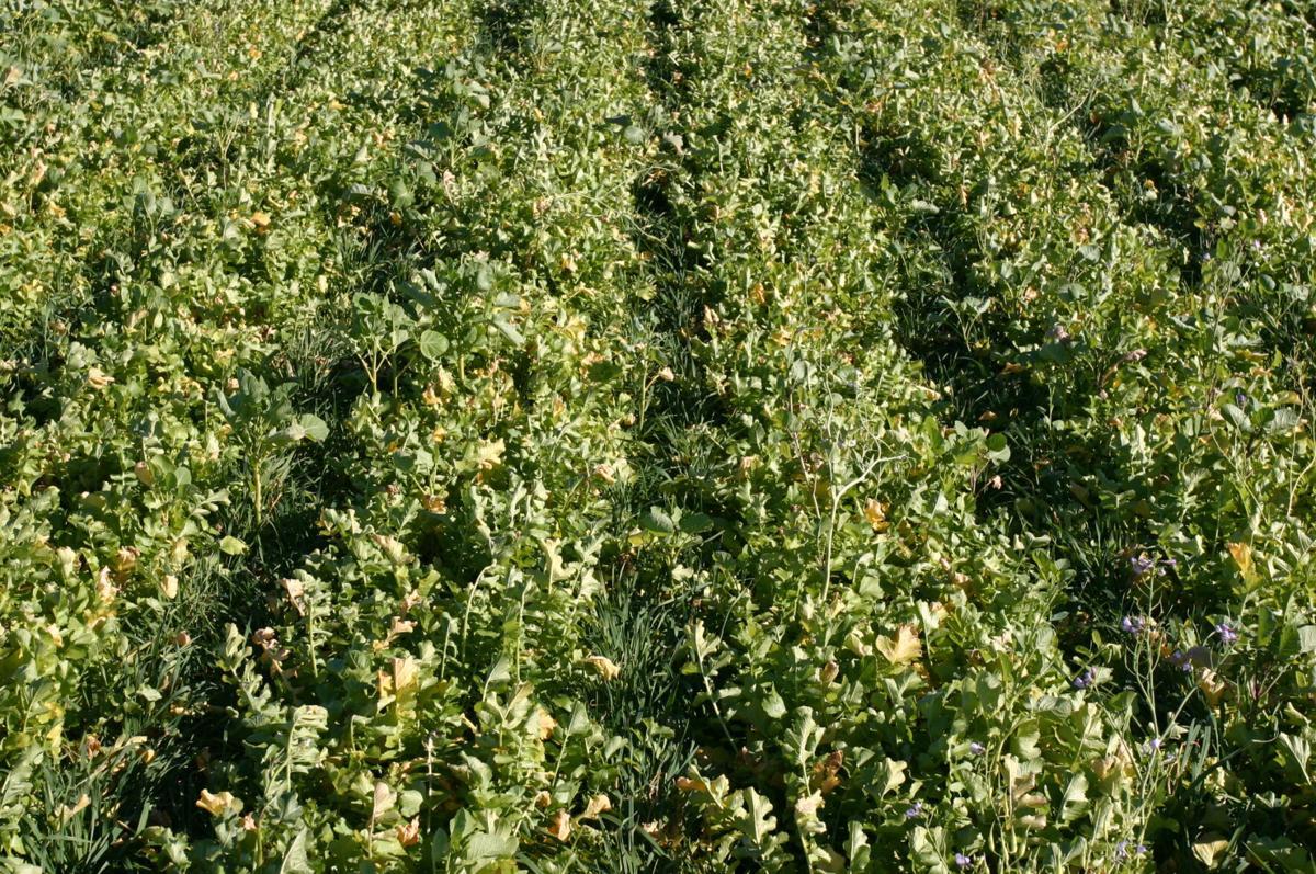 Cover crops (3).JPG