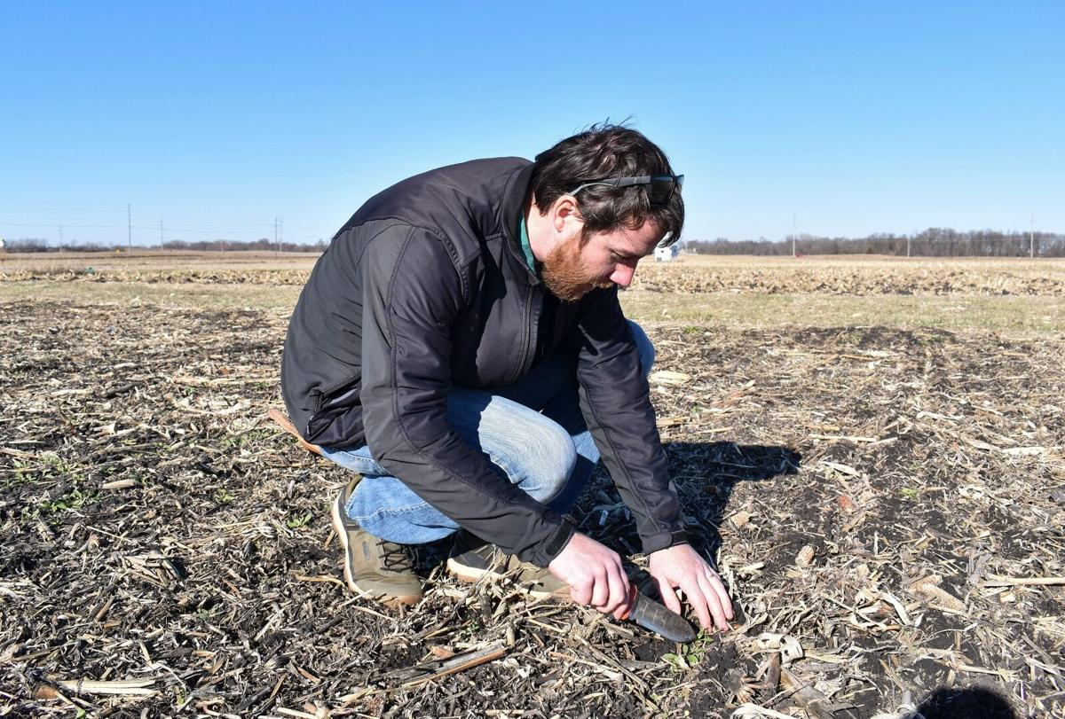 ARS scientist Peter O'Brien, from the National Laboratory for Agriculture and the Environment assesses the establishment of a winter camelina cover crop following corn harvest near Ames, Iowa. Katherine Kral-O'Brien (D4547-1)