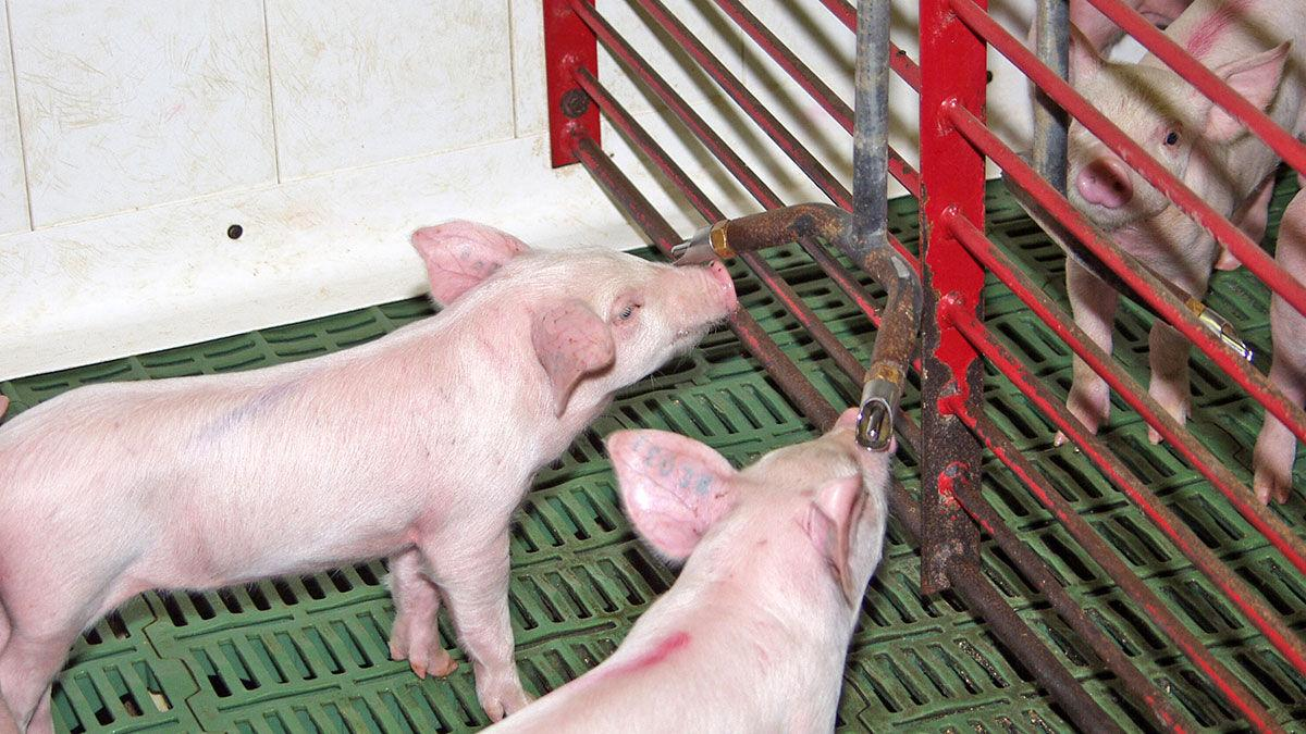 Young pigs at waterier