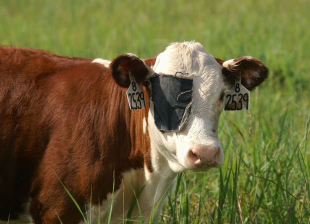 cow with eye patch