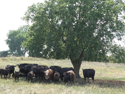 Cattle in shade