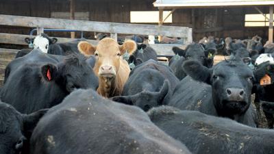 Feedlot cows