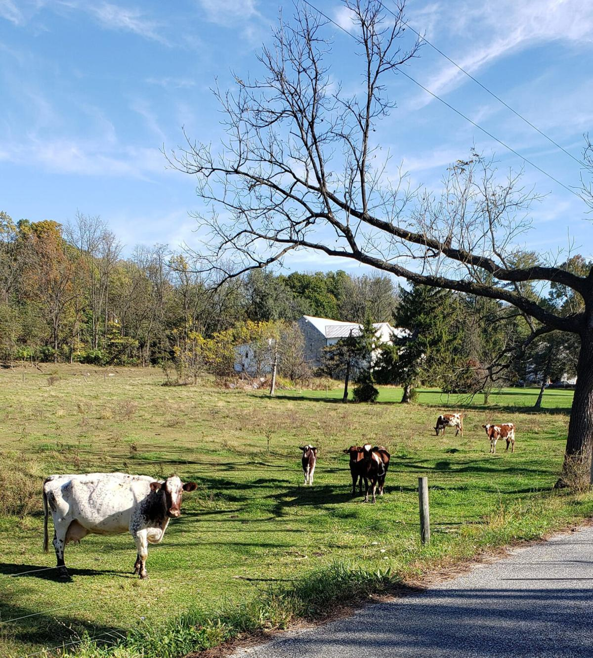 Milking shorthorns (1).JPG