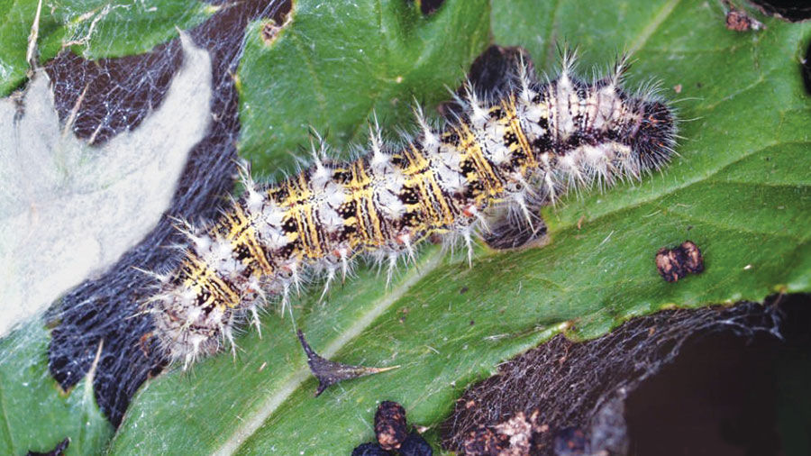 painted lady butterfly (thistle) caterpillar