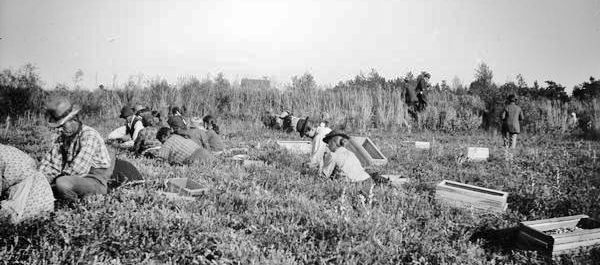Wisconsin Historical Society Image -- picking cranberries