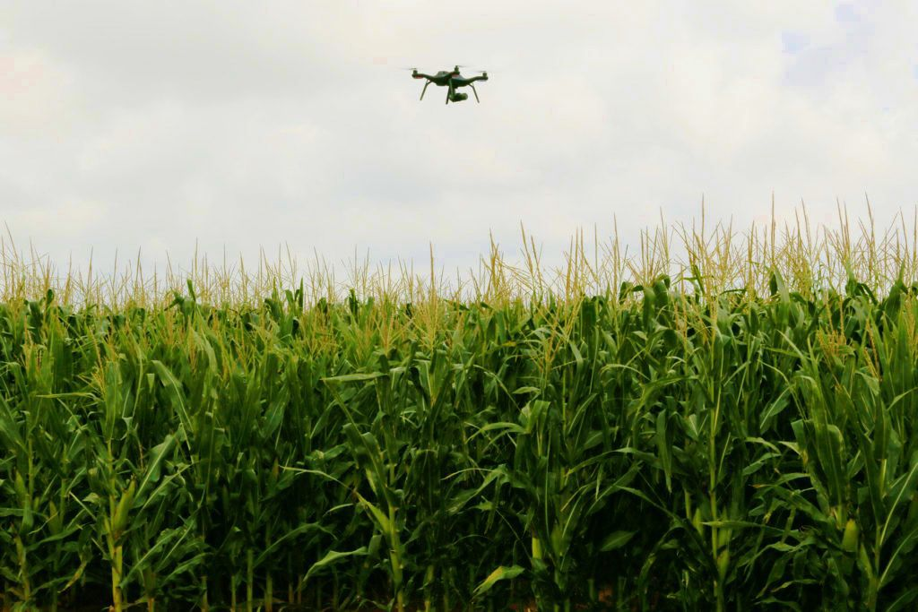 Unmanned-aerial vehicle flies over corn field