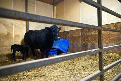 Freeze calf