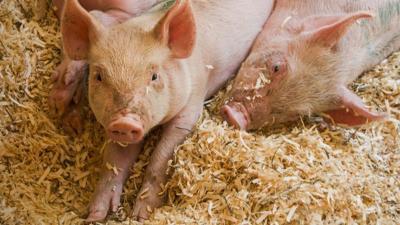 Pigs lie in pen