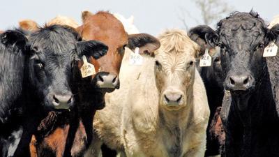 4 beef cattle closeup