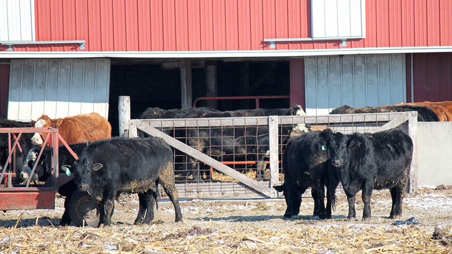 Cattle winter feeding
