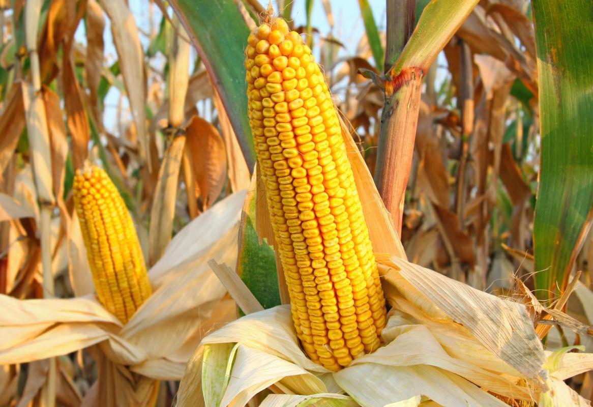 Ears of corn in field