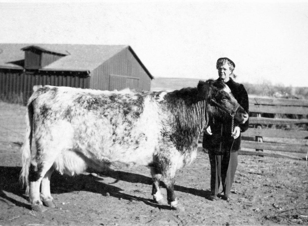Milking shorthorns (4).jpg