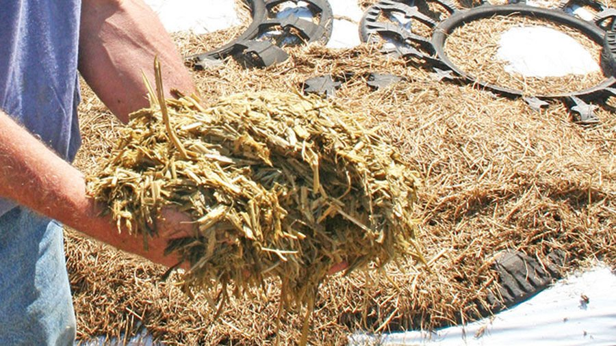 Silage close up in hand