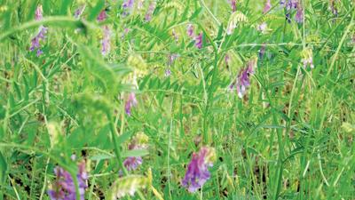cover crop such as hairy vetch