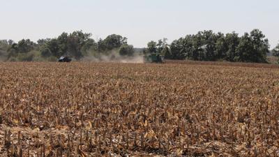 Fall cornfield