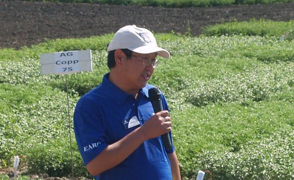 Peas under irrigation