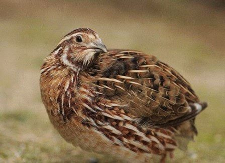 coturnix quail Pharoah