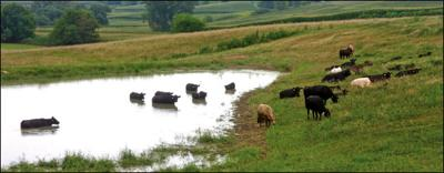 Cattle at pond