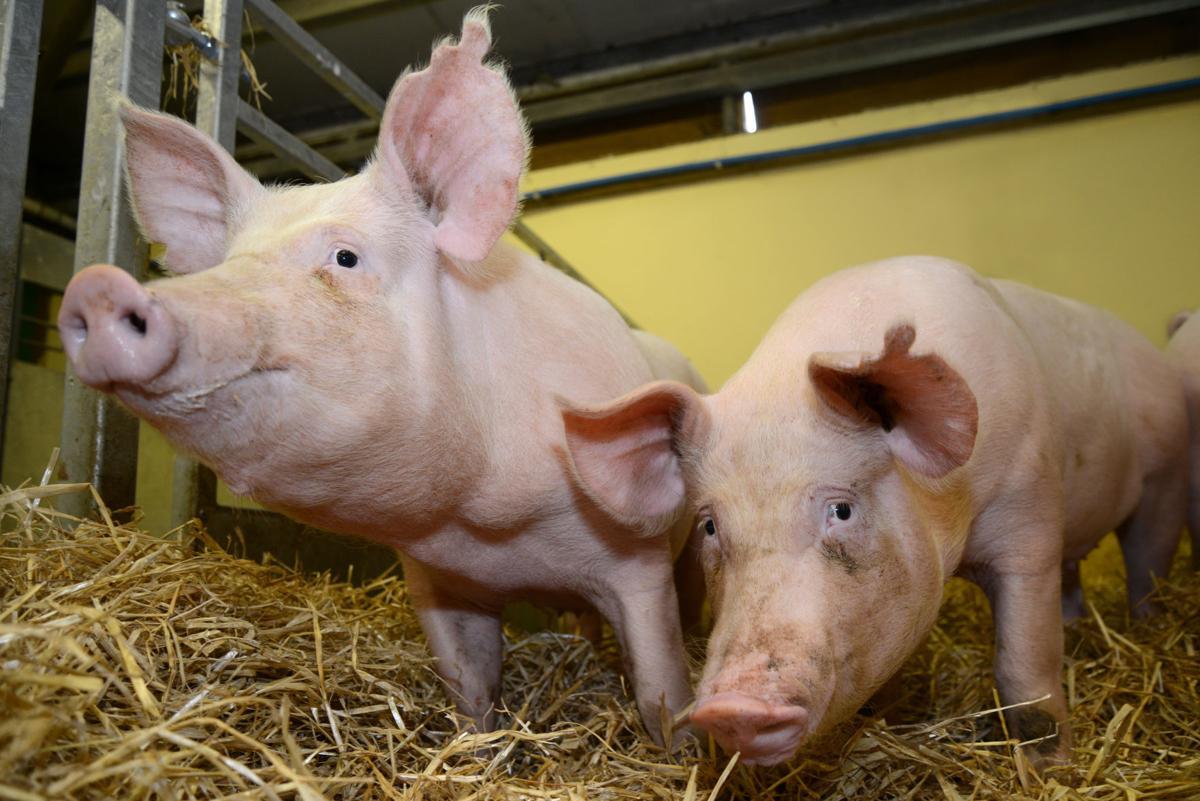Pigs in pen eating