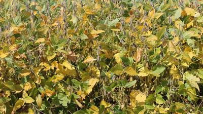 Yellow soybean leaves