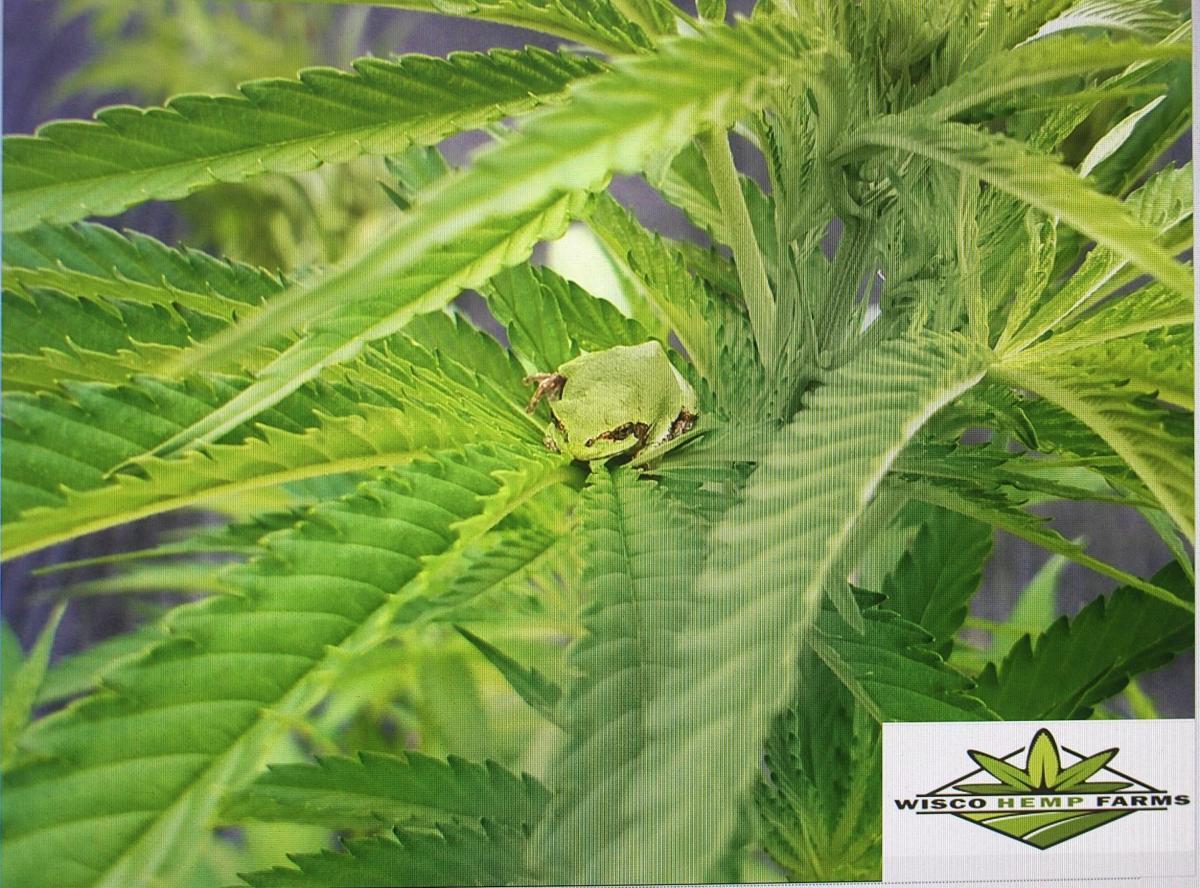 Frogs sit on hemp