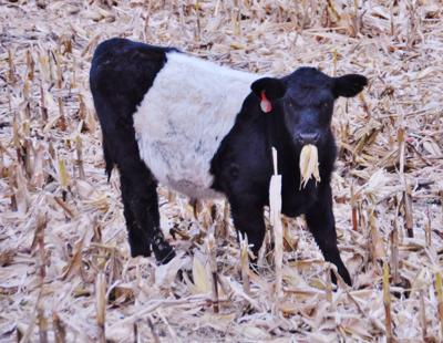 Beef calf enjoys harvest
