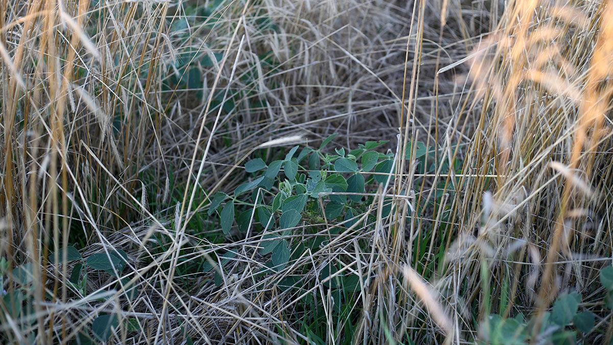 Beans in cover crop