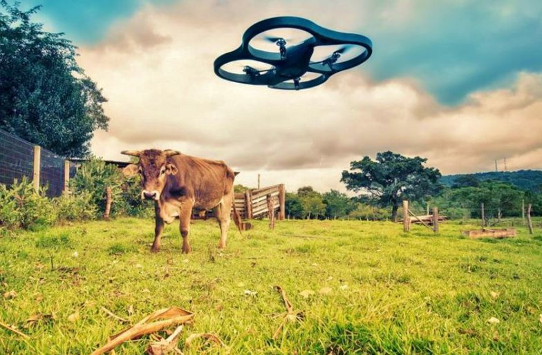 Drone checks on cattle