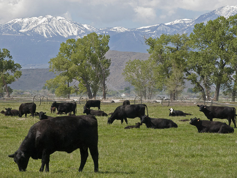 Cattle in field by mountains