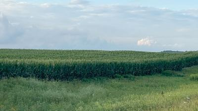 A developing corn field in Johnson County, Iowa